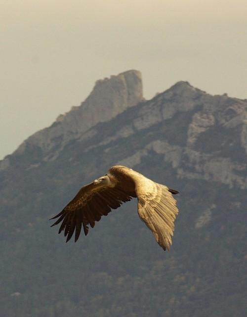 vautour Bugarach