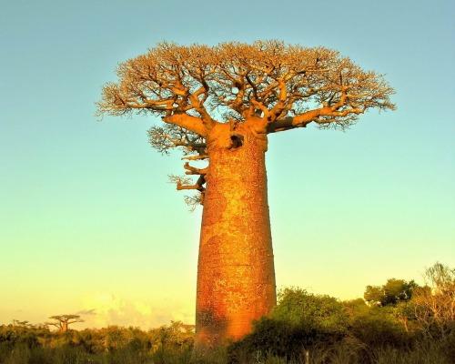AfricaMadagascarParanyTree